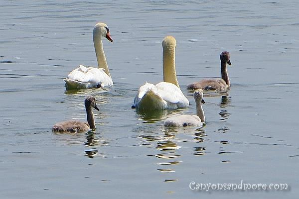Ducks, Geese and Swans 6